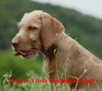 Drahthaariger Ungarischer Vorstehhund Kopie